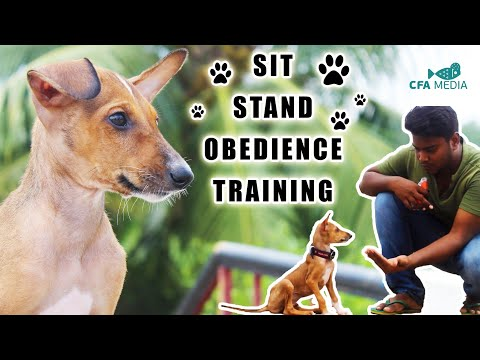 How to teach your Puppy to sit and stand basic obedience | chippiparai an indian breed | CFA MEDIA |