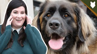5 Reasons You SHOULD NOT GET A LEONBERGER!