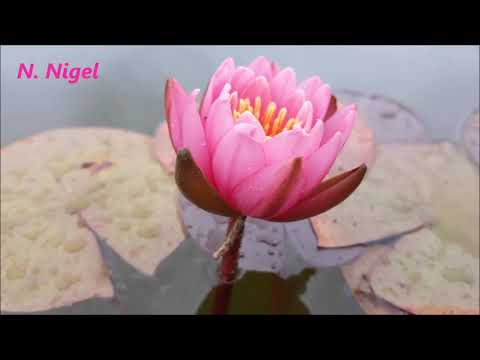 Карликовые кувшинки (стандартные карликовые) карликовая нимфея, waterlily