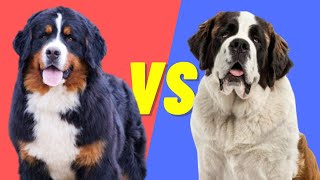 Saint Bernard VS Bernese Mountain Dog  Pros and Cons of the two Dog Breeds