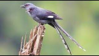Suara Kicauan Burung Paling Merdu Di Dunia Untuk Terapi Rileksasi Atau Masteran Burung Kicau 3