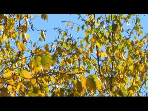 Октябрь в Нижневартовске. Золото берёз и первый снег.
