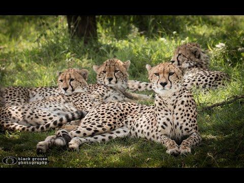 Malaika the Cheetah and Her Cubs - Masai Mara HD