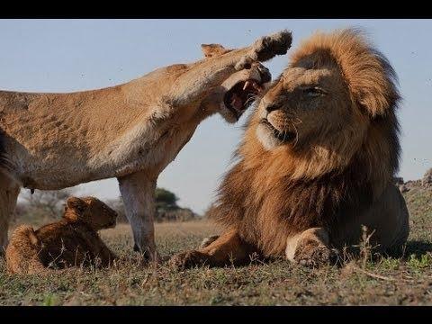 Тайная жизнь хищников. Самые опасные и умные животные в нашем мире - Лучшие приколы. Самое прикольное смешное видео!