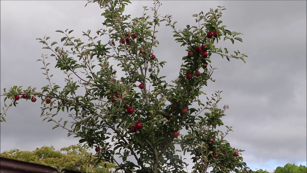 Listening to the Nature l Birds in Flight Mode before Sunset @ The Apple Tree and the Birds