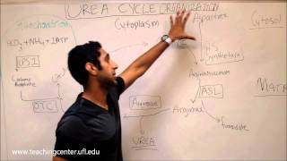 Urea Cycle Organization