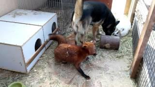 Лисички и собака Лапушка.