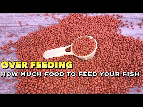 OVER FEEDING- Find Out How Much Food Your Fish Actually Wants | Tamil |