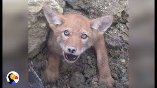 SCARED Coyote Trapped in COLLAPSED DEN Can't Wait To Be Free
