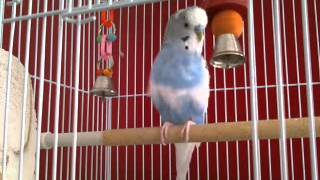 Repeat youtube video Jesse the budgie singing - 4 minutes of excitement :))