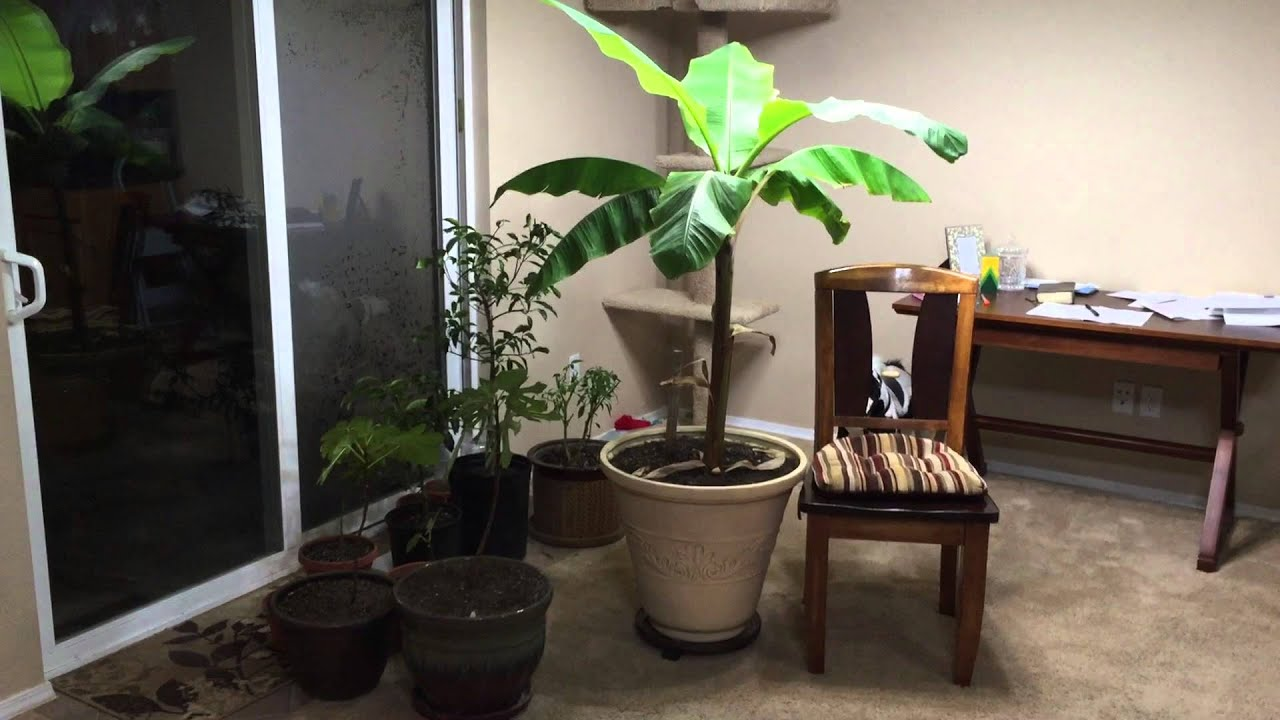 How To Grow a Large Banana Plant Indoors - YouTube