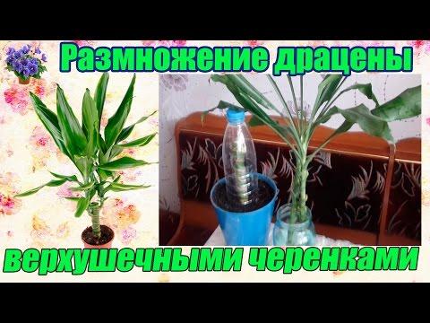 Комнатное растение драцена размножение верхушечными черенками в домашних условиях