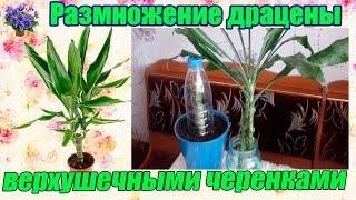 Комнатное растение драцена размножение верхушечными черенками в домашних условиях(Комнатное растение драцена размножается черенками. На примере своего растения я покажу, как размножить..., 2016-03-10T06:35:50.000Z)