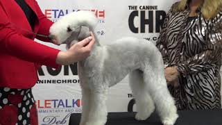 The Bedlington Terrier with Kellie Miller #caninechronicle #breedpriorities #bedlingtonterriers