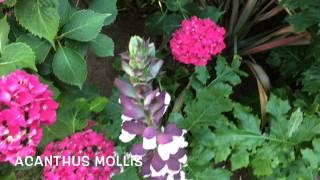 Acanthus mollis. Garden Center online Costa Brava - Girona.