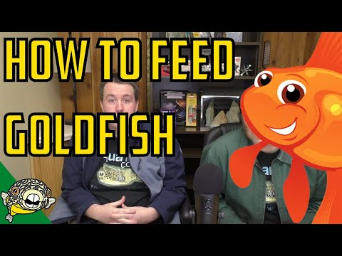 How to Feed Goldfish Properly. What is the best Goldfish Food? Real Fish Talk #9