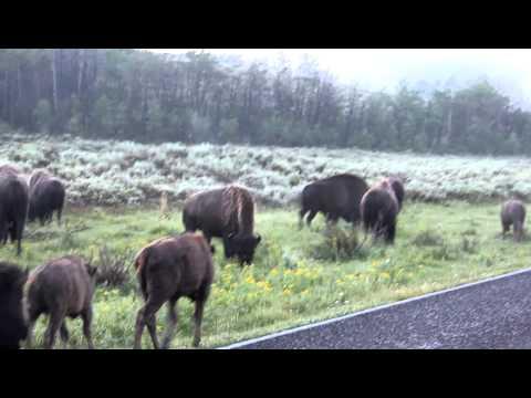 Bison Herd - Yellowstone 2011