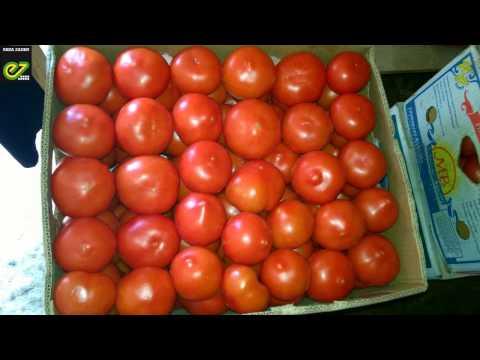 Опыт выращивания томата Белфорт F1 в Астрахани. | выращивания | выращивание | технология | удобрения | помидор | высадка | белфорт | томата | семена | томат
