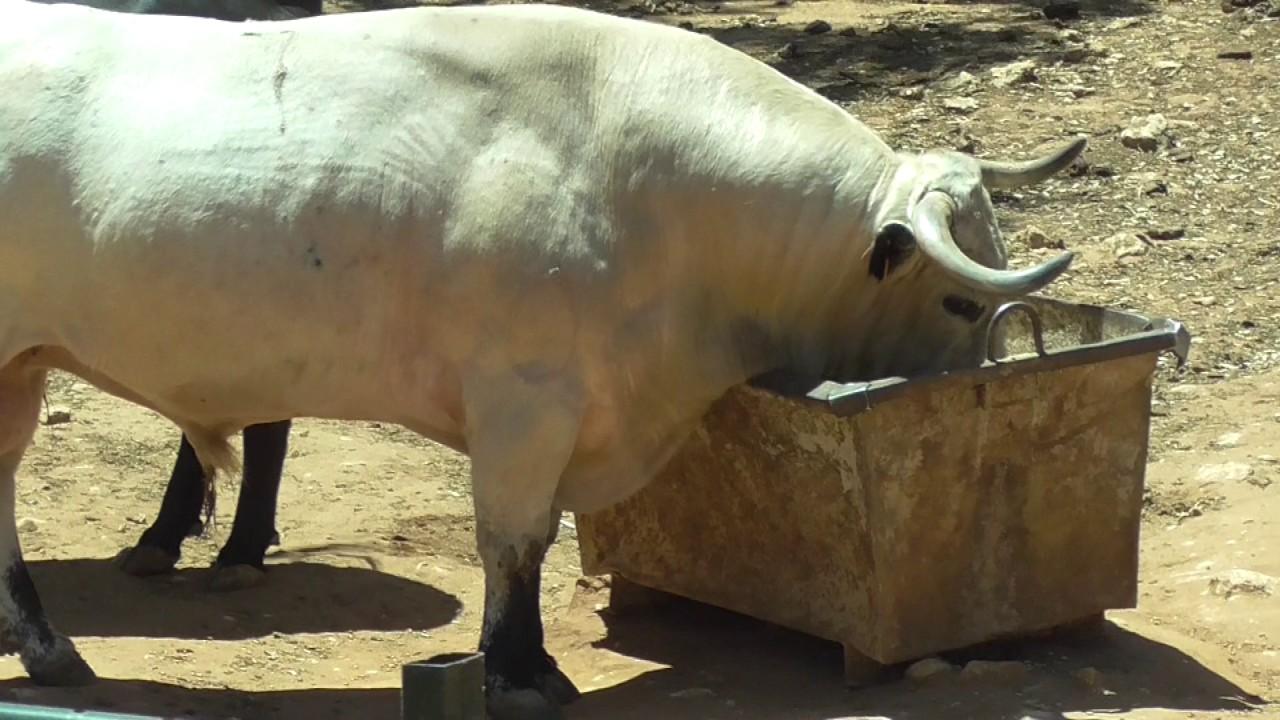 Spanish Bull Face