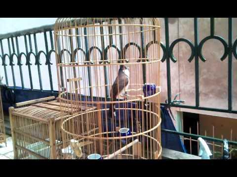 chào mào đà nẵng to con -Kênh về chim Chào mào của Triệu Triệu