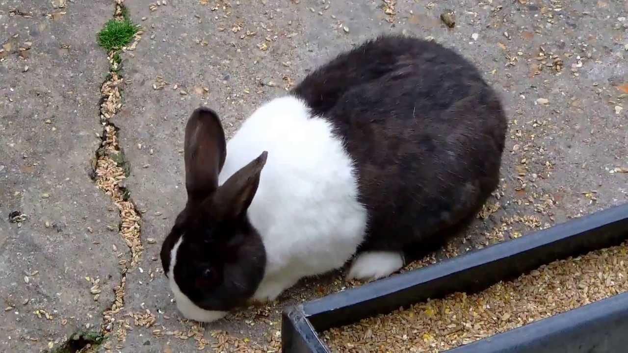 Black And White Rabbit (Dutch Rabbit)