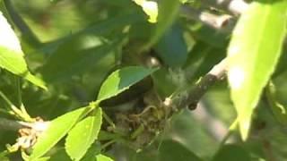 Ruby Throated Hummingbird Nest Building