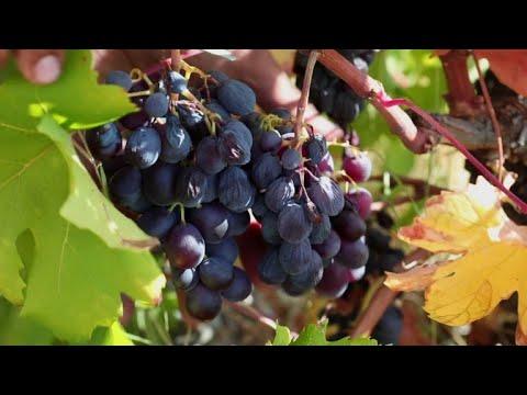 'Wine of gods' harvest gets underway in Cyprus