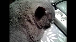 кот мурлыка