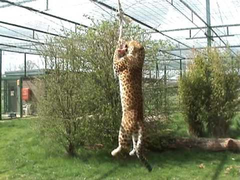 BCS - North Chinese Leopard - Atara