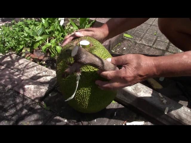 Tuyệt chiêu: Làm TRÁI MÍT chưa già mau chín (Jackfruit)