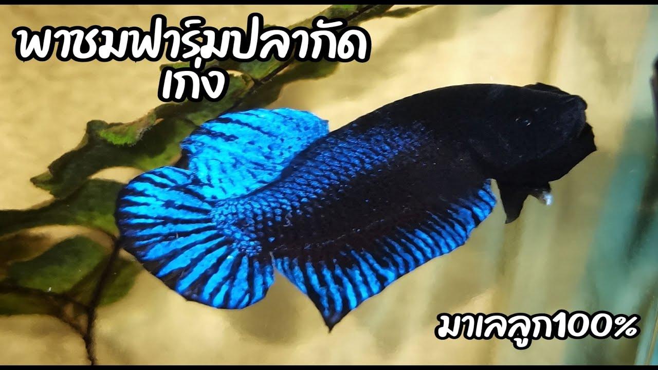 พาชมฟาร์มปลากัดเก่งบ้านตาของผมเอง|2Wheels Journey|