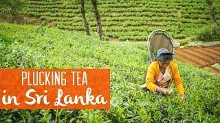 On a Tea Plantation in Nuwara Eliya, Sri Lanka