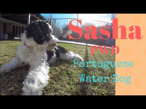She's growing fast!  Sasha PWD - Portuguese Water Dog