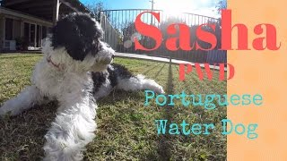 She's growing fast!  Sasha PWD  Portuguese Water Dog