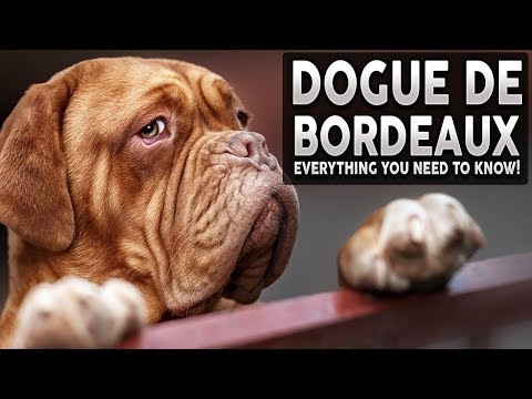 DOGUE DE BORDEAUX 101! Everything You Need To Know About The French Mastiff!