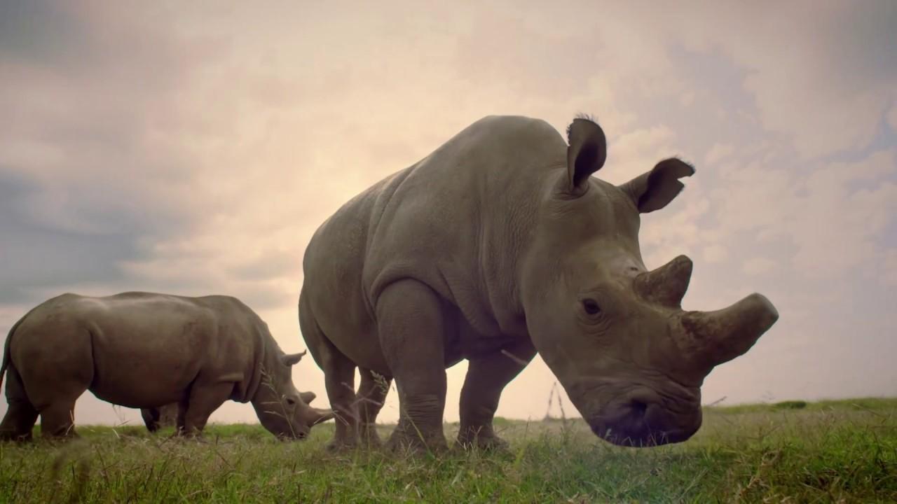 RARE | Extrait : Le déclin des rhinocéros blancs
