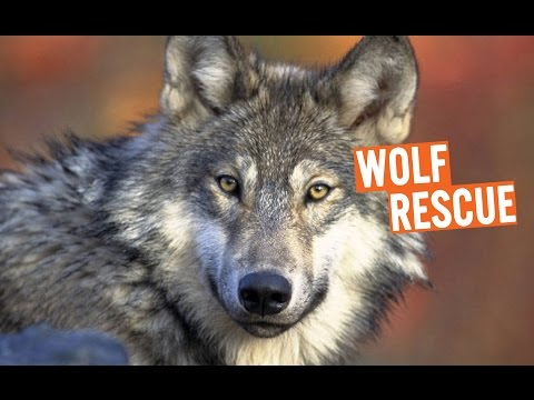 Discovery Education Kids - Wolf Rescue 2016