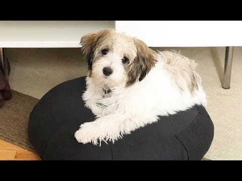 Cute Shorkie Puppies - Shih Tzu Yorkie Mix Dogs