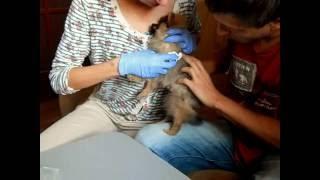 Сделать прививку щенку самостоятельно