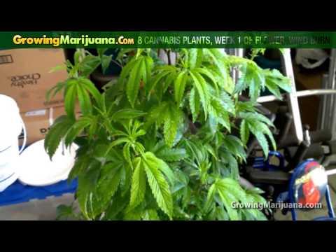 8 Cannabis Plants, Week 1 of Flower, Wind Burn