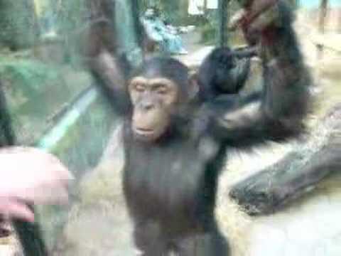 le singe essité du zizi