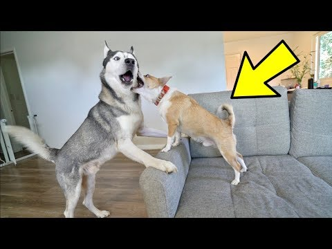 Husky Play Fights a Small 12 Pound Dog! (HILARIOUS)