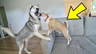 husky-play-fights-a-small-12-pound-dog-hilarious