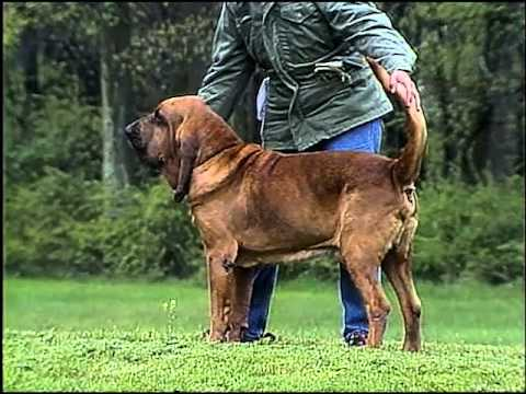 Bloodhound - AKC Dog Breed Series