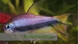 Süßwasser-Aquarienfische