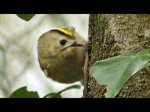 Goldcrest - Tiny Bird Close Up