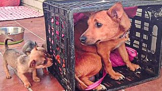 Mama Dog Reunited with her Stolen Puppies... She is Crying from Happiness