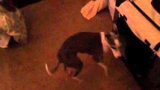 Italian Greyhound crate training
