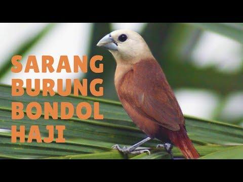 Sarang burung bondol haji atau emprit haji (jawa)
