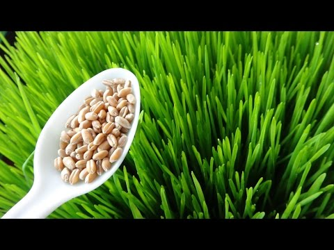 How To Grow Wheatgrass at Home- Cheap and Easy Method